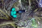Φίδι κλέβει αβγά από φωλιά πουλιού