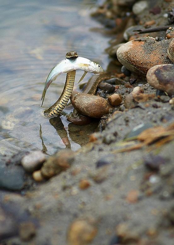 Γενναίο φίδι «σώζει» ψάρι από πνιγμό | Φωτογραφία της ημέρας