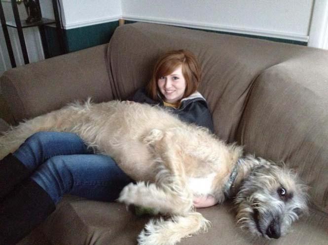 Τεράστιοι σκύλοι που δεν νοιάζονται για το μέγεθος τους (1)