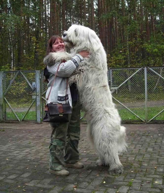 Τεράστιοι σκύλοι που δεν νοιάζονται για το μέγεθος τους (2)
