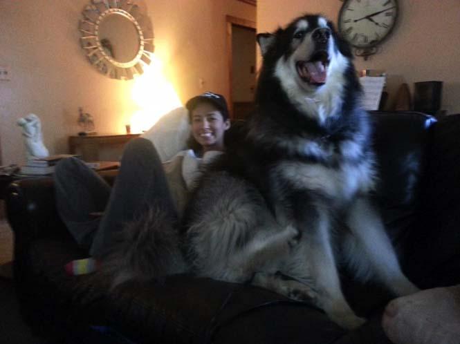 Τεράστιοι σκύλοι που δεν νοιάζονται για το μέγεθος τους (8)