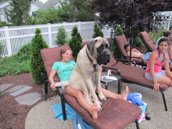 Τεράστιοι σκύλοι που δεν νοιάζονται για το μέγεθος τους (9)