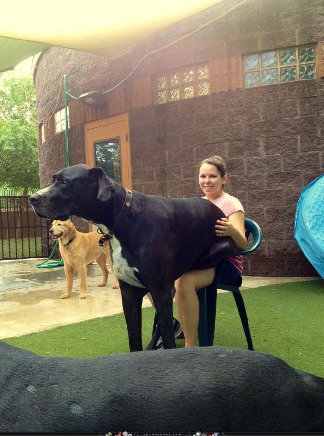 Τεράστιοι σκύλοι που δεν νοιάζονται για το μέγεθος τους (10)