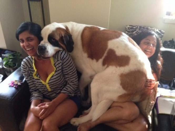 Τεράστιοι σκύλοι που δεν νοιάζονται για το μέγεθος τους (13)