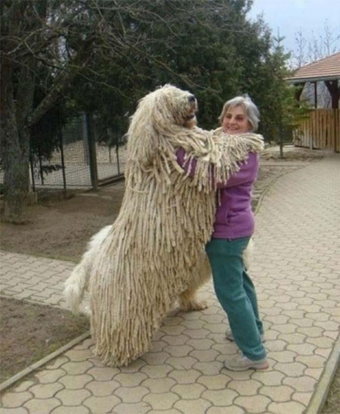 Τεράστιοι σκύλοι που δεν νοιάζονται για το μέγεθος τους (17)