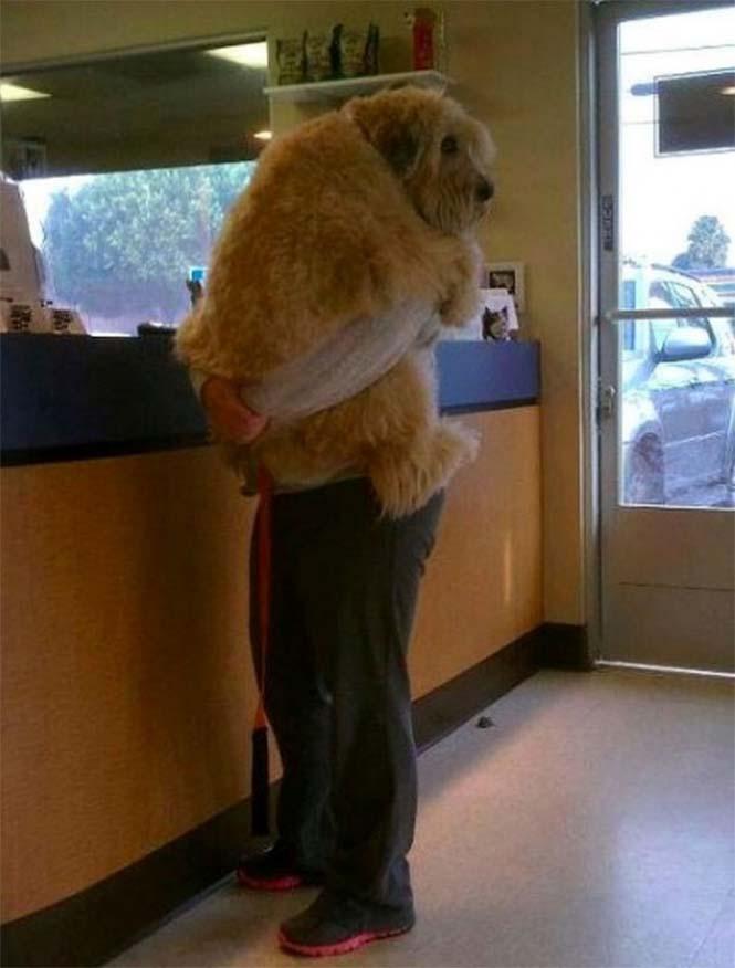 Τεράστιοι σκύλοι που δεν νοιάζονται για το μέγεθος τους (18)
