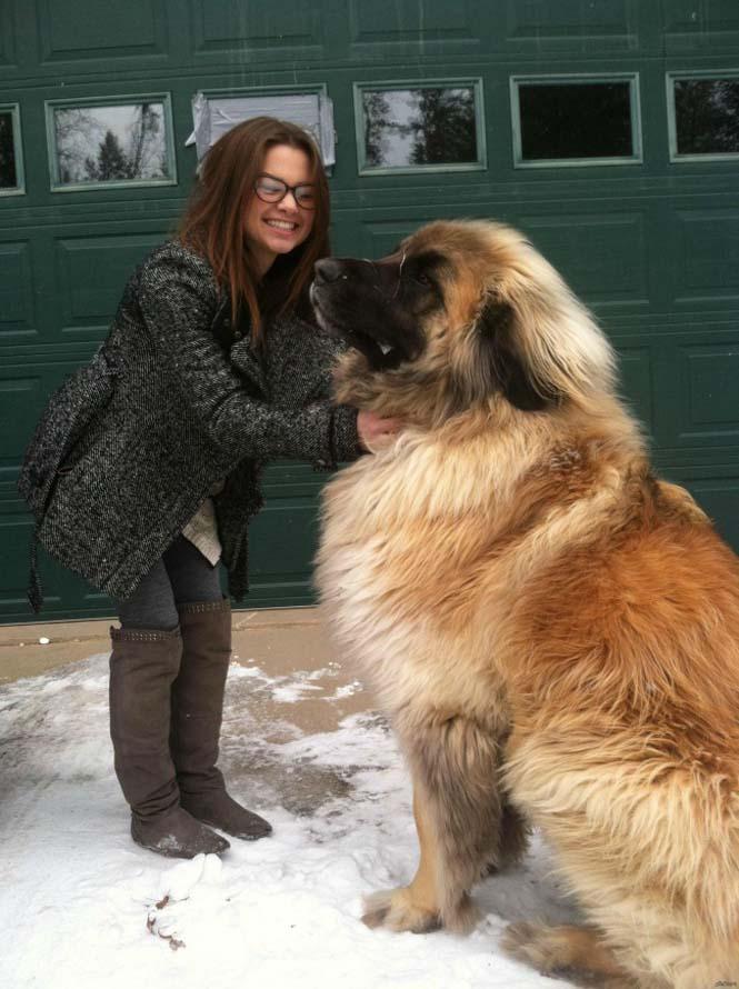 Τεράστιοι σκύλοι που δεν νοιάζονται για το μέγεθος τους (19)