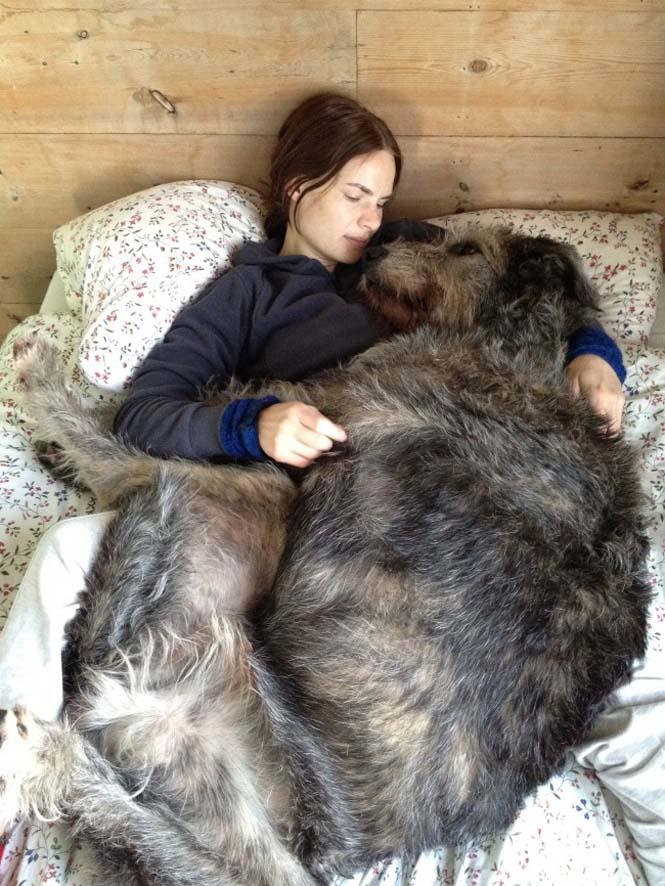 Τεράστιοι σκύλοι που δεν νοιάζονται για το μέγεθος τους (20)