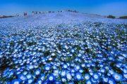 Θάλασσα από λουλούδια στο Hitachi Seaside Park της Ιαπωνίας (2)