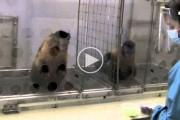 Δείτε τι συμβαίνει όταν δυο μαϊμούδες παίρνουν διαφορετική ανταμοιβή για το ίδιο πράγμα