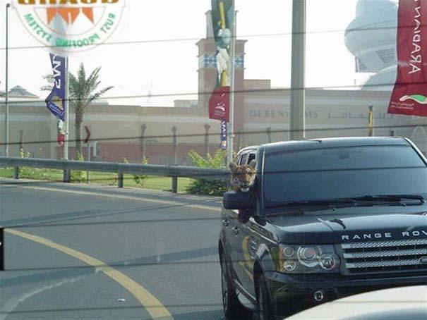 Στο Dubai μπορείς να συναντήσεις κυριολεκτικά τα πάντα... #2 (6)