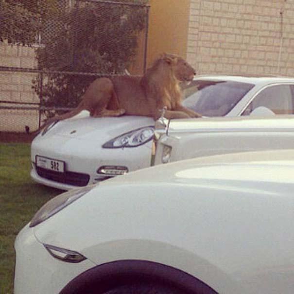Στο Dubai μπορείς να συναντήσεις κυριολεκτικά τα πάντα... #2 (18)