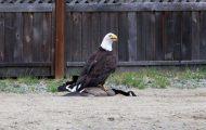 Φωτογράφος κατέγραψε την μάχη ενός φαλακρού αετού με καναδική χήνα (1)