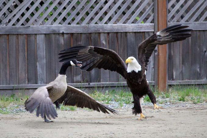 Φωτογράφος κατέγραψε την μάχη ενός φαλακρού αετού με καναδική χήνα (3)