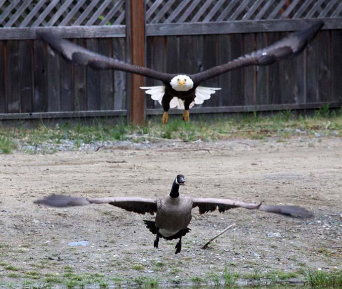Φωτογράφος κατέγραψε την μάχη ενός φαλακρού αετού με καναδική χήνα (5)