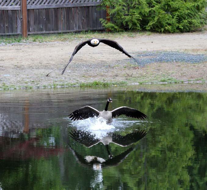 Φωτογράφος κατέγραψε την μάχη ενός φαλακρού αετού με καναδική χήνα (6)