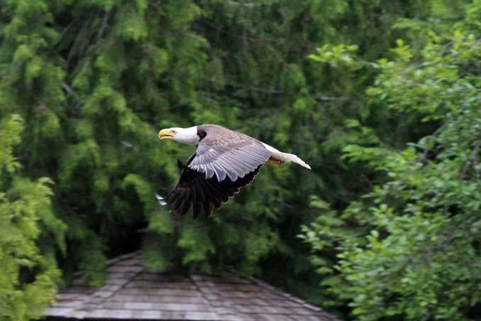 Φωτογράφος κατέγραψε την μάχη ενός φαλακρού αετού με καναδική χήνα (10)