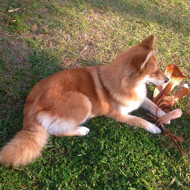 Pomeranian Husky (2)