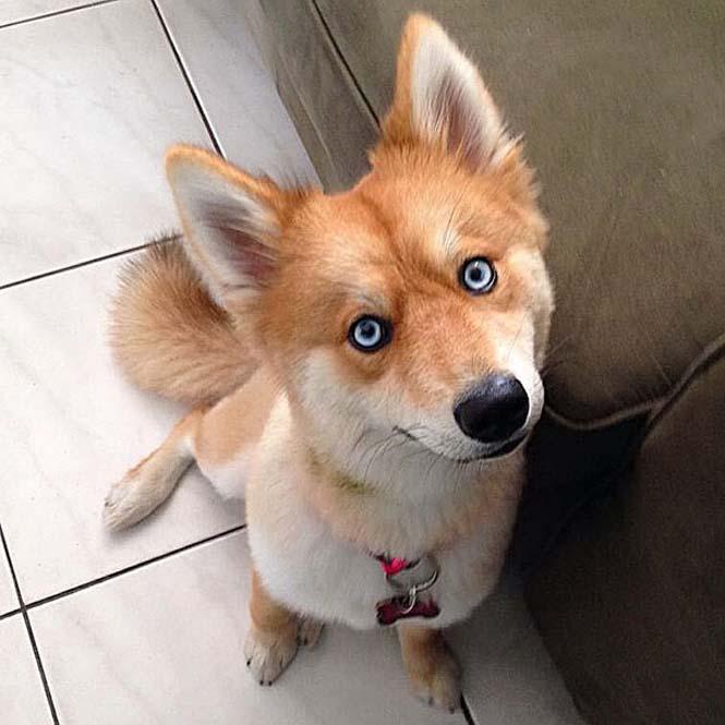 Pomeranian Husky (5)