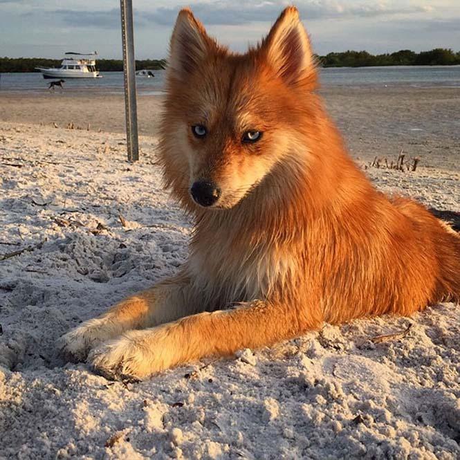Pomeranian Husky (10)