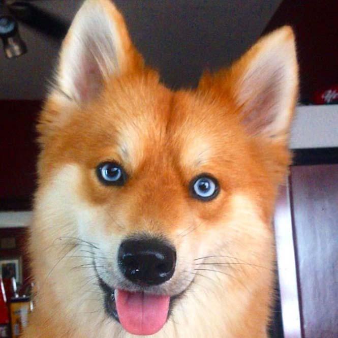 Pomeranian Husky (12)