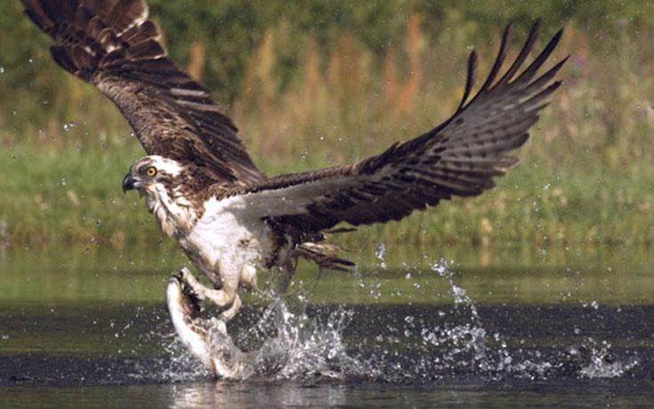 Δείτε έναν ψαραετό να βουτάει για να πιάσει μια πέστροφα σε αργή κίνηση