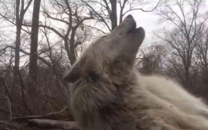 Πως ουρλιάζει ο πιο τεμπέλης λύκος στον κόσμο