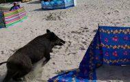 Εισβολή αγριόχοιρου σε παραλία
