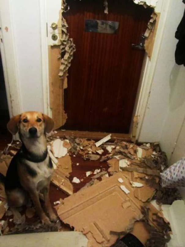 19 ένοχα κατοικίδια ποζάρουν δίπλα στο καταστροφικό τους έργο (3)