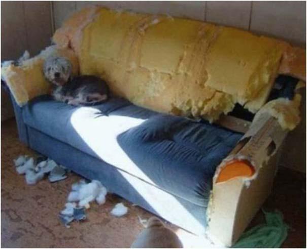 19 ένοχα κατοικίδια ποζάρουν δίπλα στο καταστροφικό τους έργο (9)