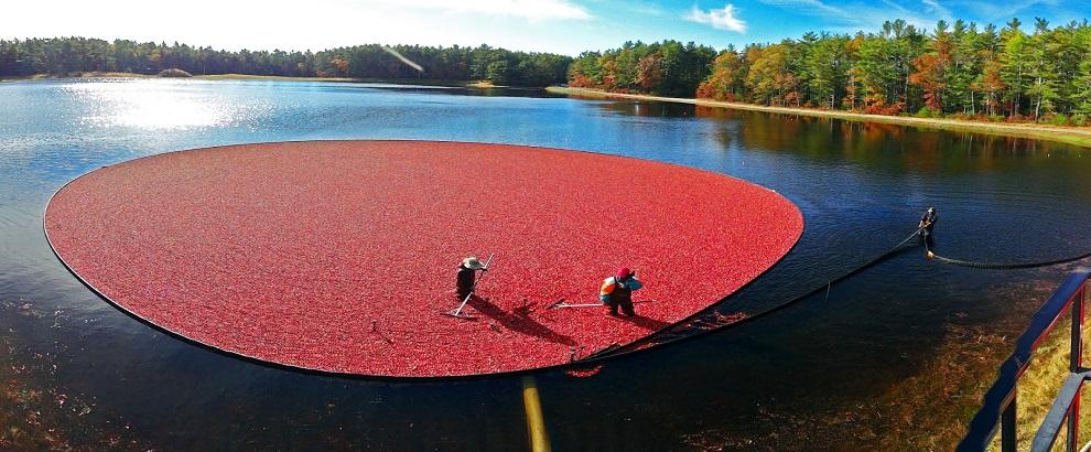 Έτσι γίνεται η συγκομιδή των cranberries | Φωτογραφία της ημέρας