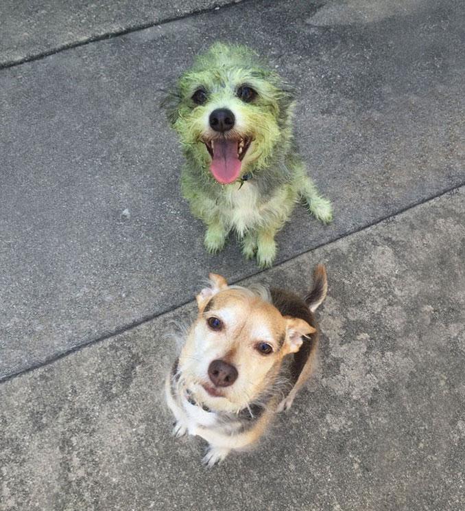 Μαντέψτε ποιος από τους σκύλους βοήθησε στο κούρεμα του γκαζόν... | Φωτογραφία της ημέρας