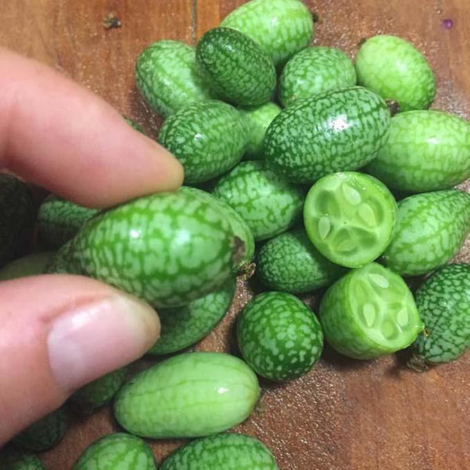 Cucamelon: Αγγούρι σε μέγεθος σταφυλιού που μοιάζει με καρπούζι (2)