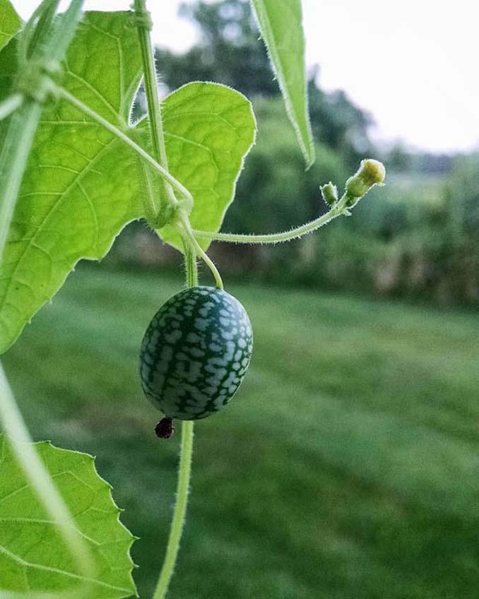 Cucamelon: Αγγούρι σε μέγεθος σταφυλιού που μοιάζει με καρπούζι (4)