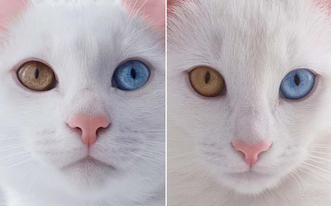 Δίδυμες γάτες με πανέμορφα ετεροχρωματικά μάτια (2)