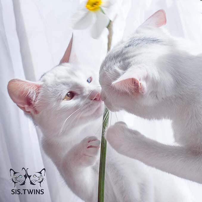 Δίδυμες γάτες με πανέμορφα ετεροχρωματικά μάτια (3)