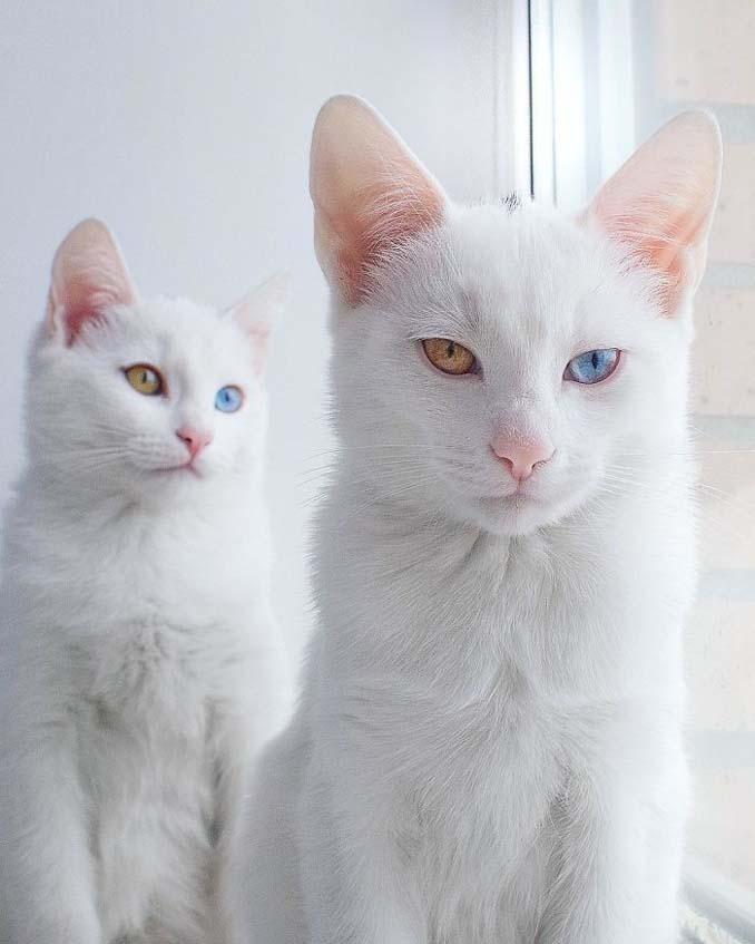 Δίδυμες γάτες με πανέμορφα ετεροχρωματικά μάτια (4)