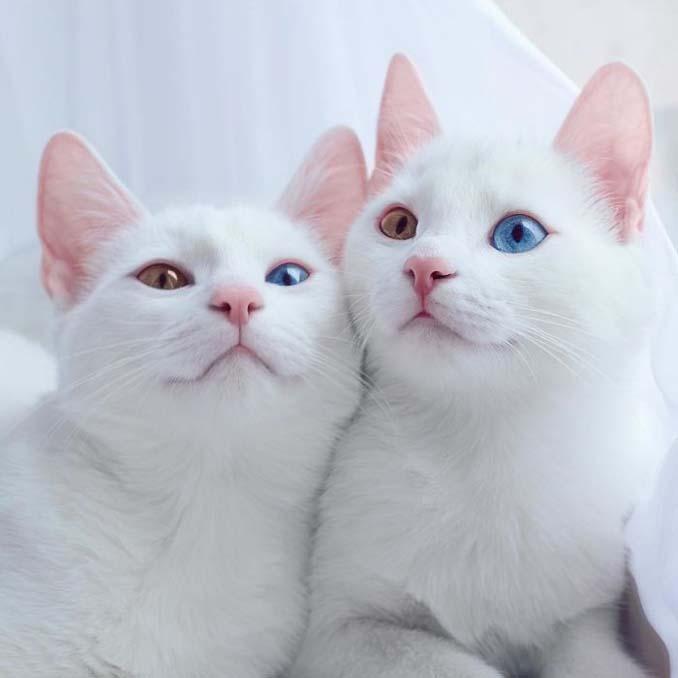 Δίδυμες γάτες με πανέμορφα ετεροχρωματικά μάτια (5)