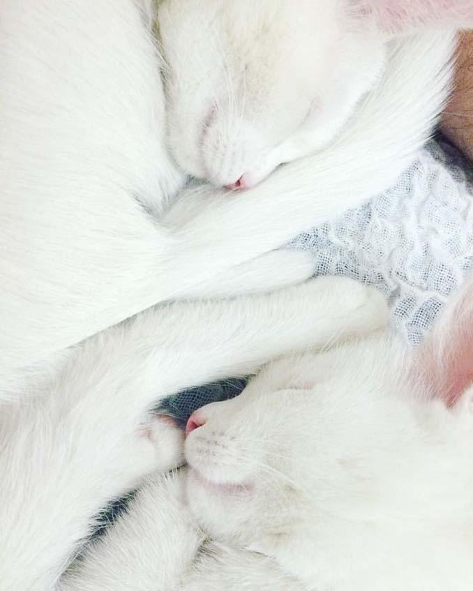 Δίδυμες γάτες με πανέμορφα ετεροχρωματικά μάτια (7)