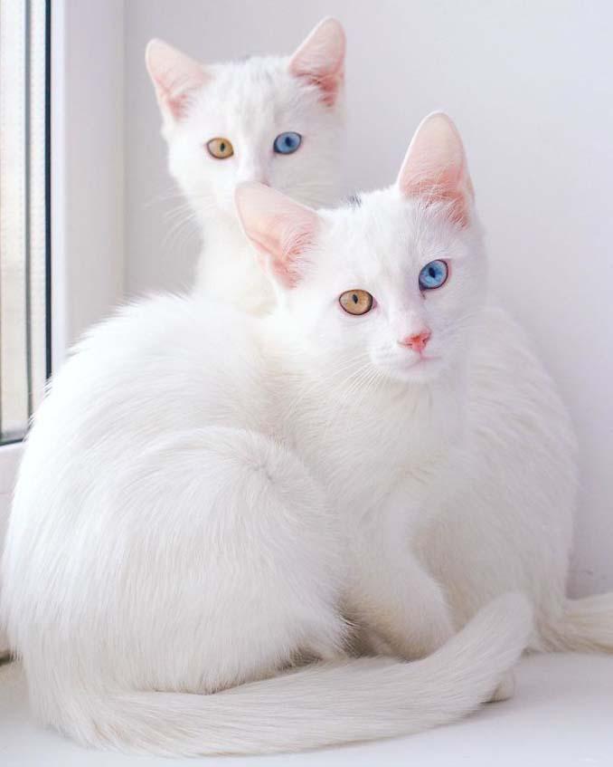 Δίδυμες γάτες με πανέμορφα ετεροχρωματικά μάτια (8)