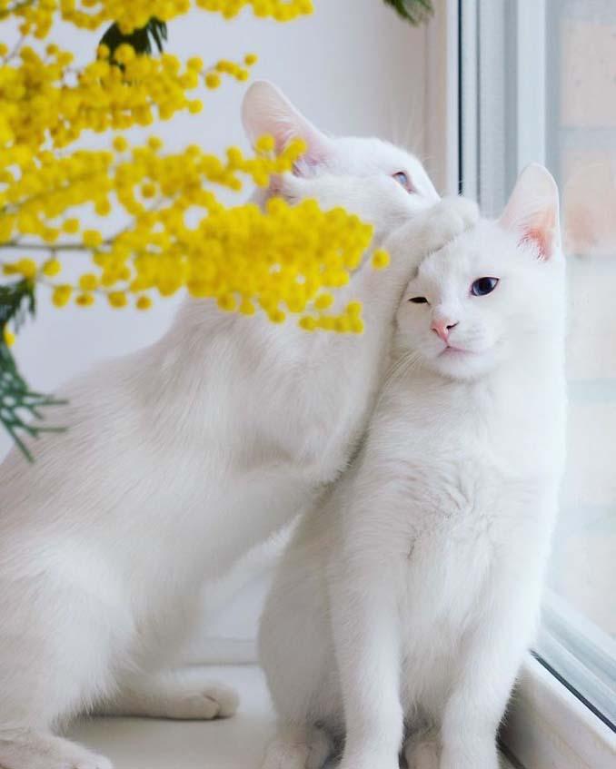 Δίδυμες γάτες με πανέμορφα ετεροχρωματικά μάτια (9)