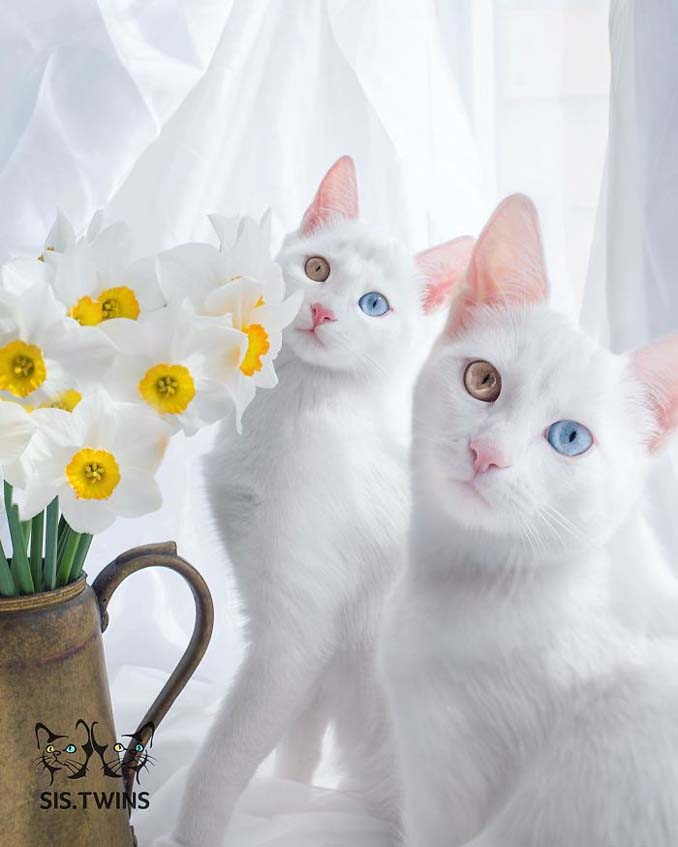 Δίδυμες γάτες με πανέμορφα ετεροχρωματικά μάτια (10)