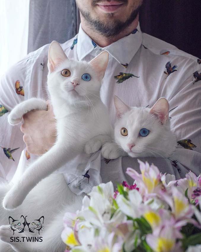 Δίδυμες γάτες με πανέμορφα ετεροχρωματικά μάτια (11)