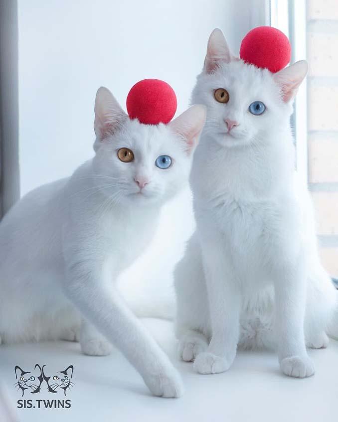Δίδυμες γάτες με πανέμορφα ετεροχρωματικά μάτια (12)