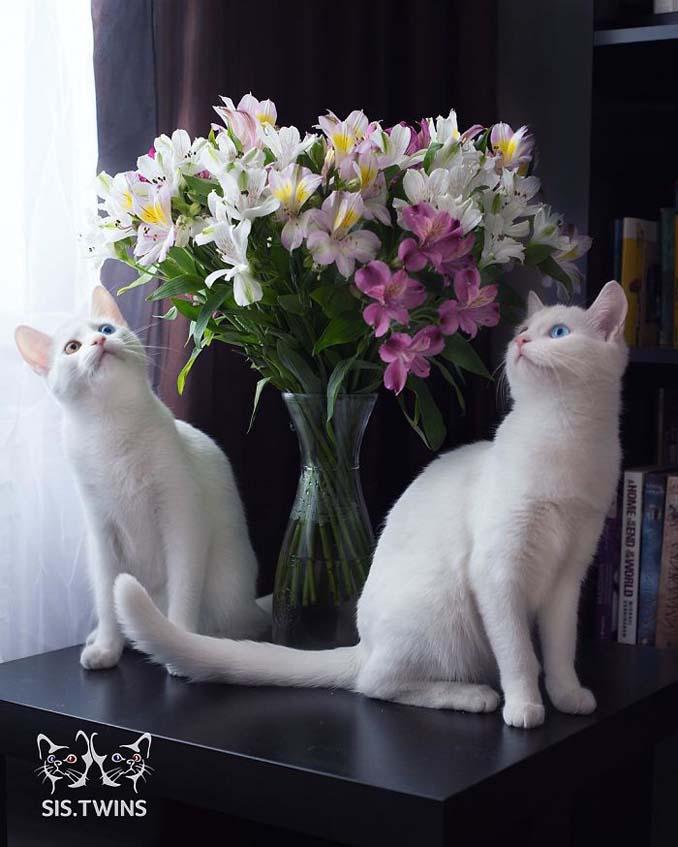 Δίδυμες γάτες με πανέμορφα ετεροχρωματικά μάτια (13)