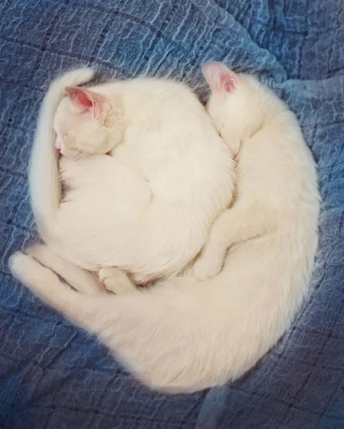 Δίδυμες γάτες με πανέμορφα ετεροχρωματικά μάτια (14)