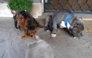 Ένοχο pitbull προσπαθεί να κρυφτεί πίσω από τον πιο μικρόσωμο φίλο του