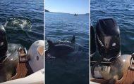 Φώκια πηδάει πάνω σε σκάφος για να γλυτώσει από όρκες