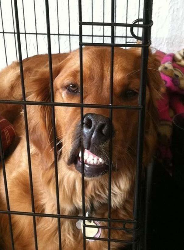 Σκύλοι σε ξεκαρδιστικές γκριμάτσες (12)