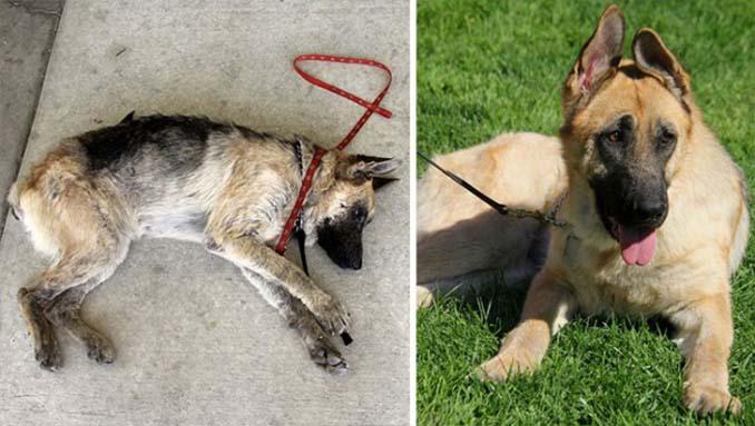 16 φωτογραφίες ζώων πριν και μετά την διάσωση που θα σας φτιάξουν την μέρα (11)
